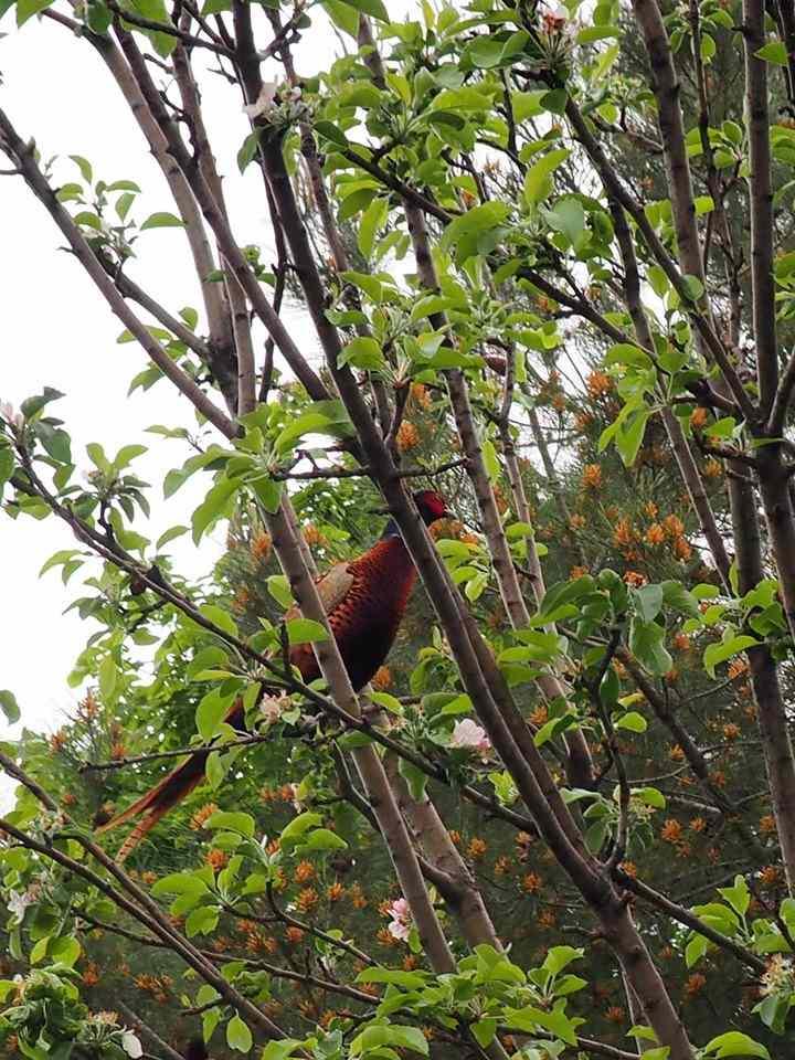 Фазан прилетел в сад новороссийской семьи