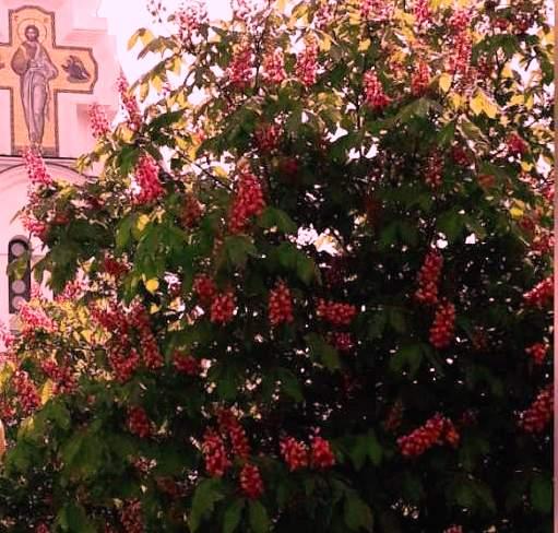 В Новороссийске цветут каштаны