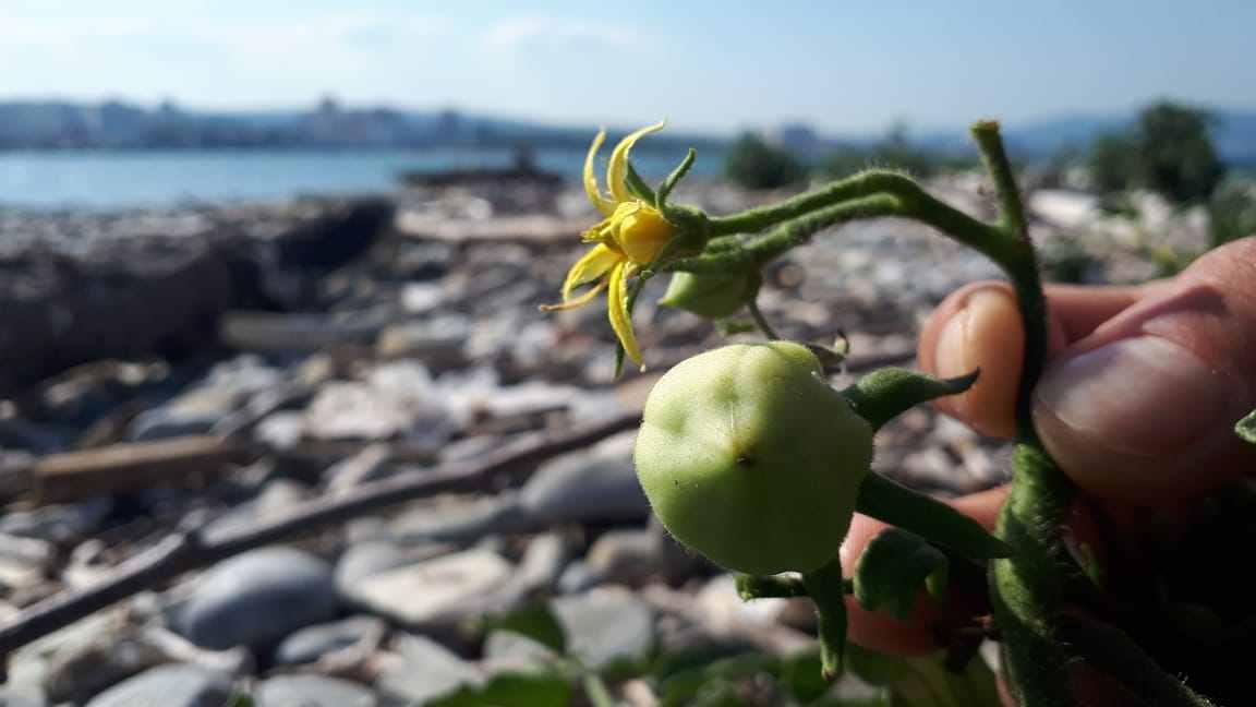 ВНовороссийске посреди моря зреют помидоры