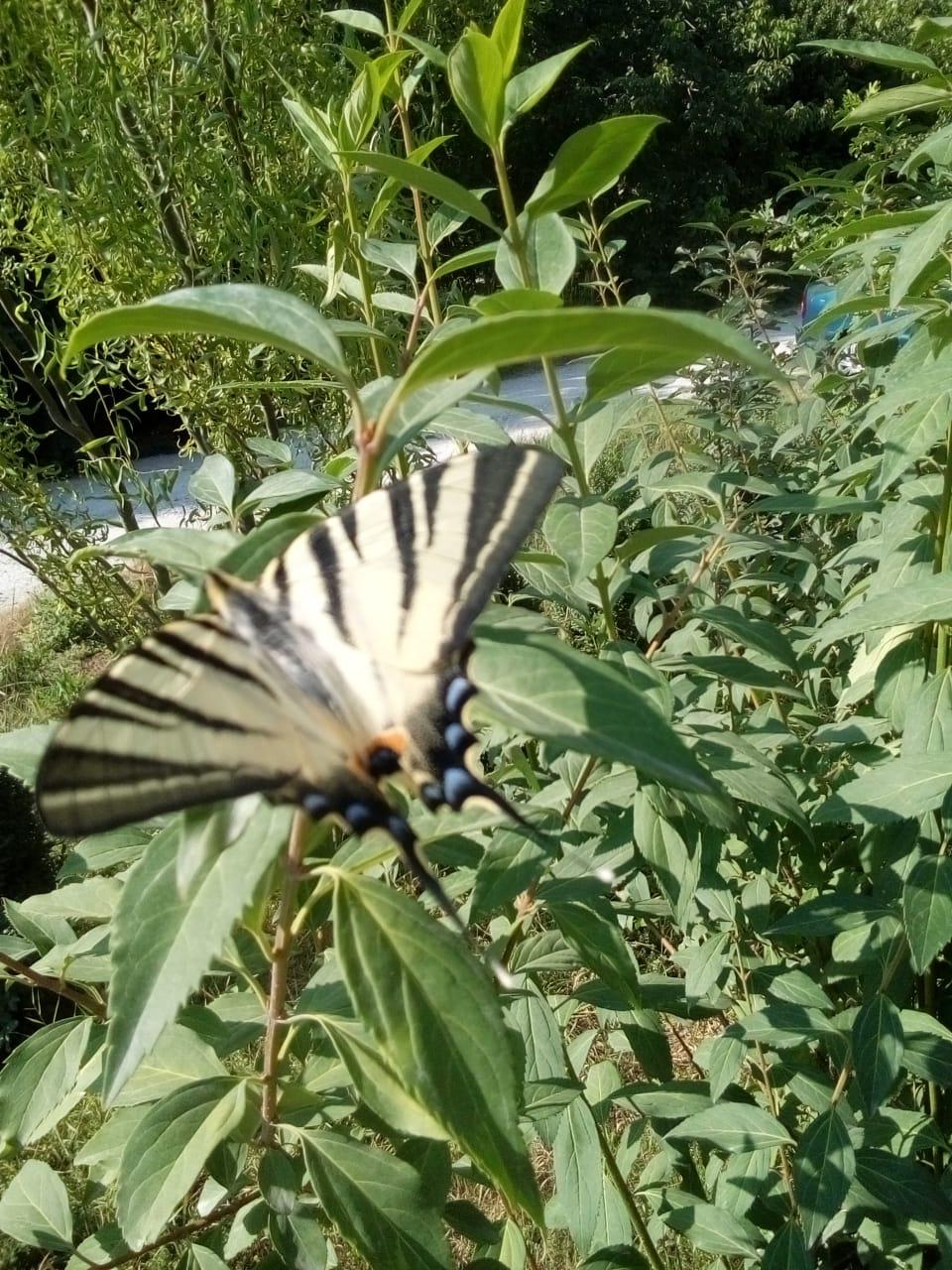 На экологически чистых участках Новороссийска живет краснокнижная бабочка