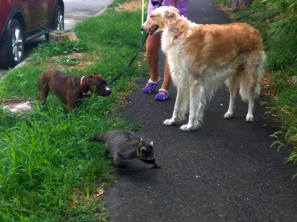 В Новороссийске енот думает, что он собака