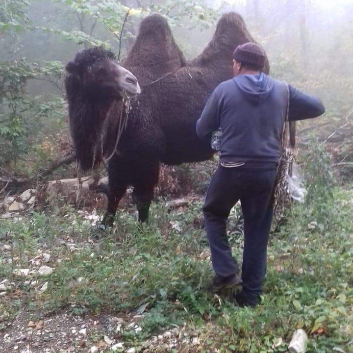 Шесть часов спасатели Новороссийска выводили табун верблюдов излеса (видео)