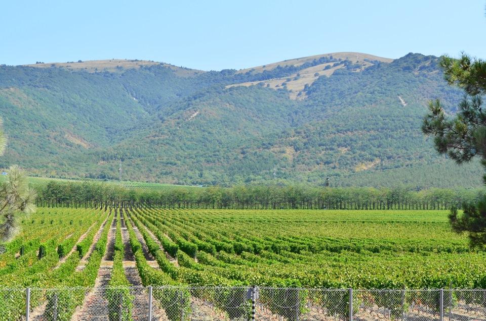Губернатор Краснодарского края выступил синициативой, которая решит судьбу виноградарства