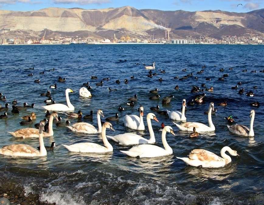 В новороссийской бухте появились лебеди