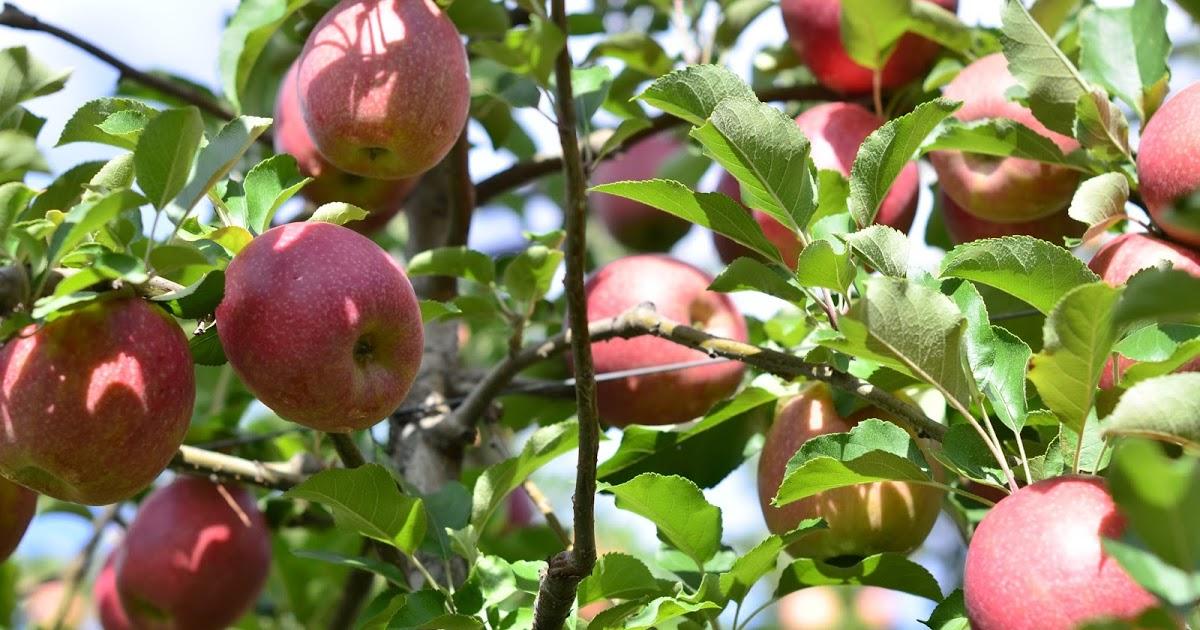 Как в Новороссийске в засушливый год правильно посадить фруктовые деревья