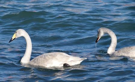 Лебеди - кликуны
