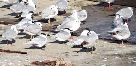 Озерная чайка и пестроносые крачки