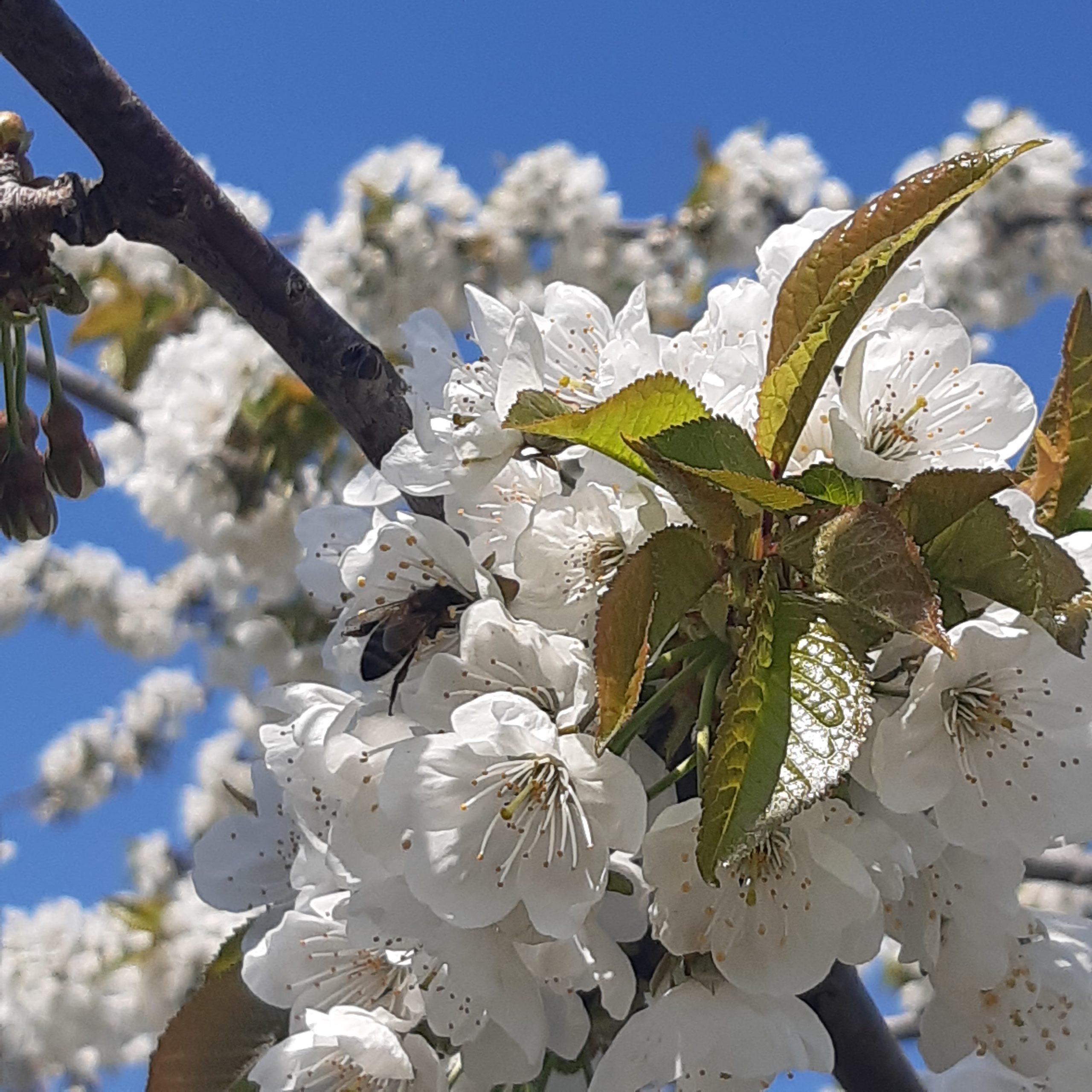 Новороссийские пчеловоды предупредили – местного гречишного меда в этом году не будет