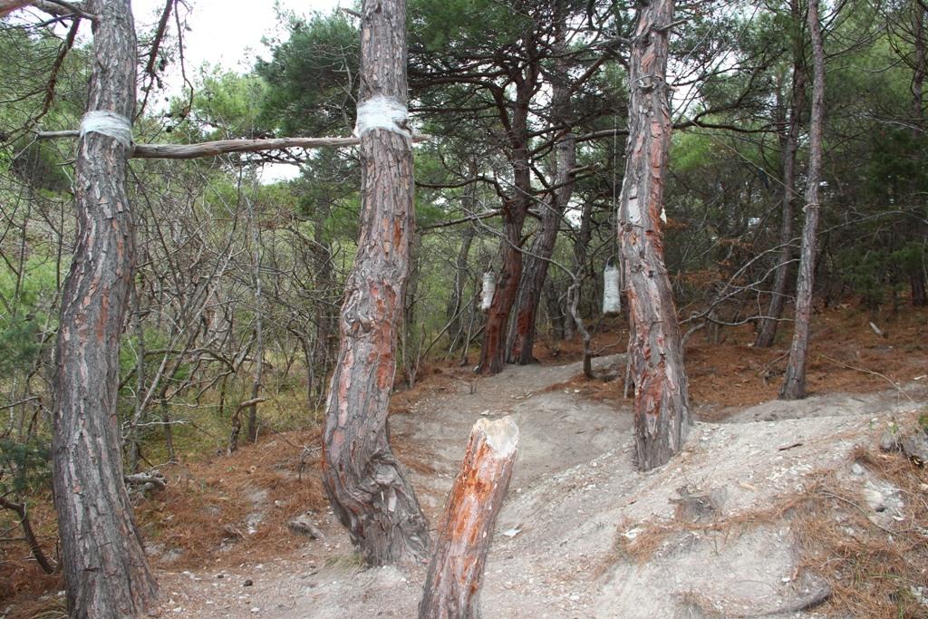 В Новороссийске на горе Колдун срубили реликтовые сосны, чтобы было удобно сидеть вокруг костра