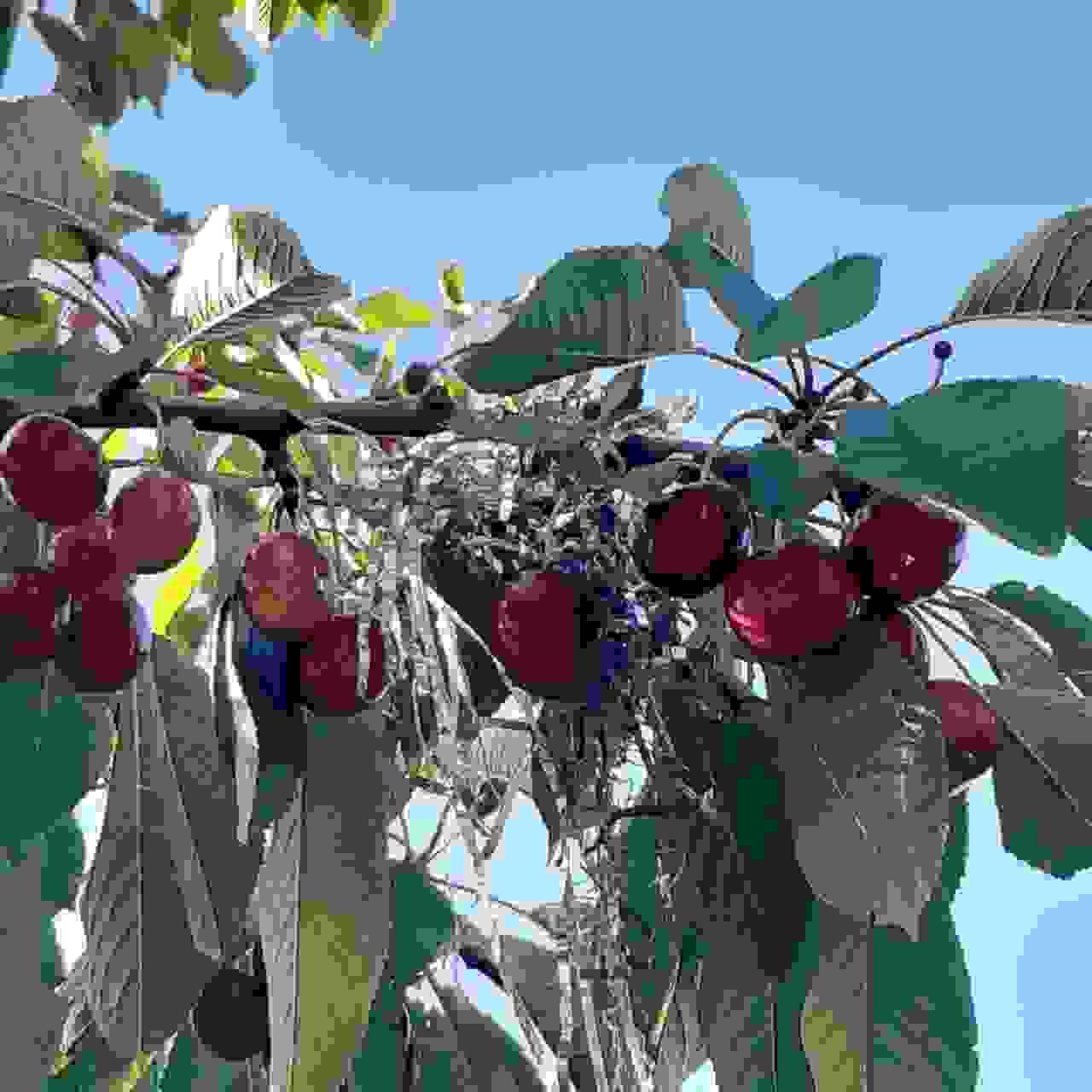 В Новороссийске появились «новогодние» черешневые деревья