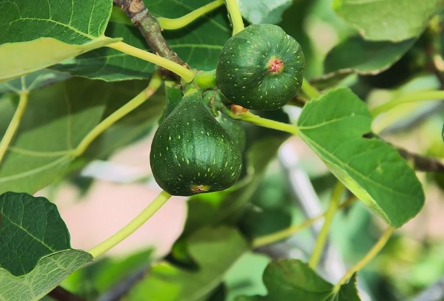 Инжир – друг на 300 лет: как правильно выращивать фиговое дерево