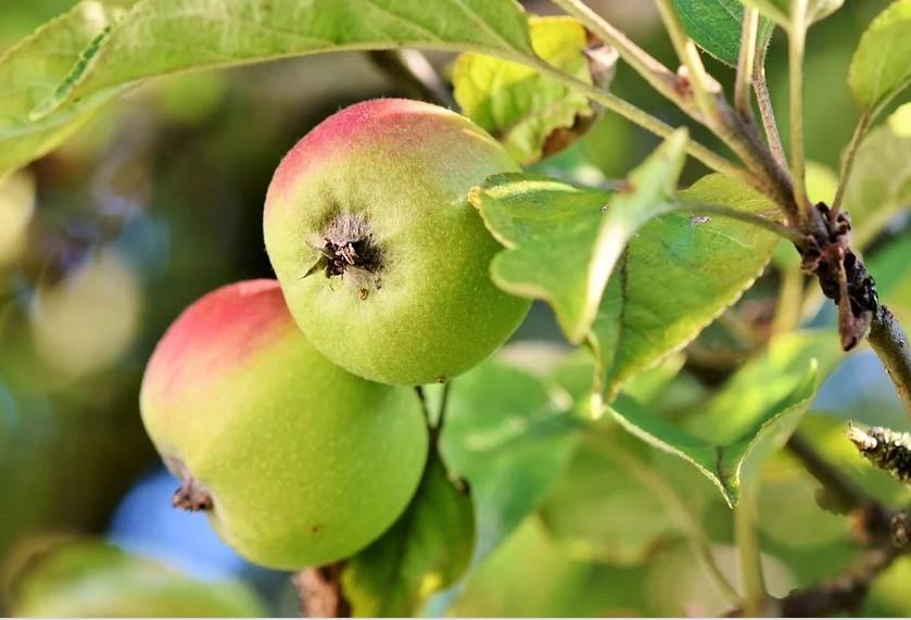 Как спасти урожай яблок: советы биотехнологов и селекционеров