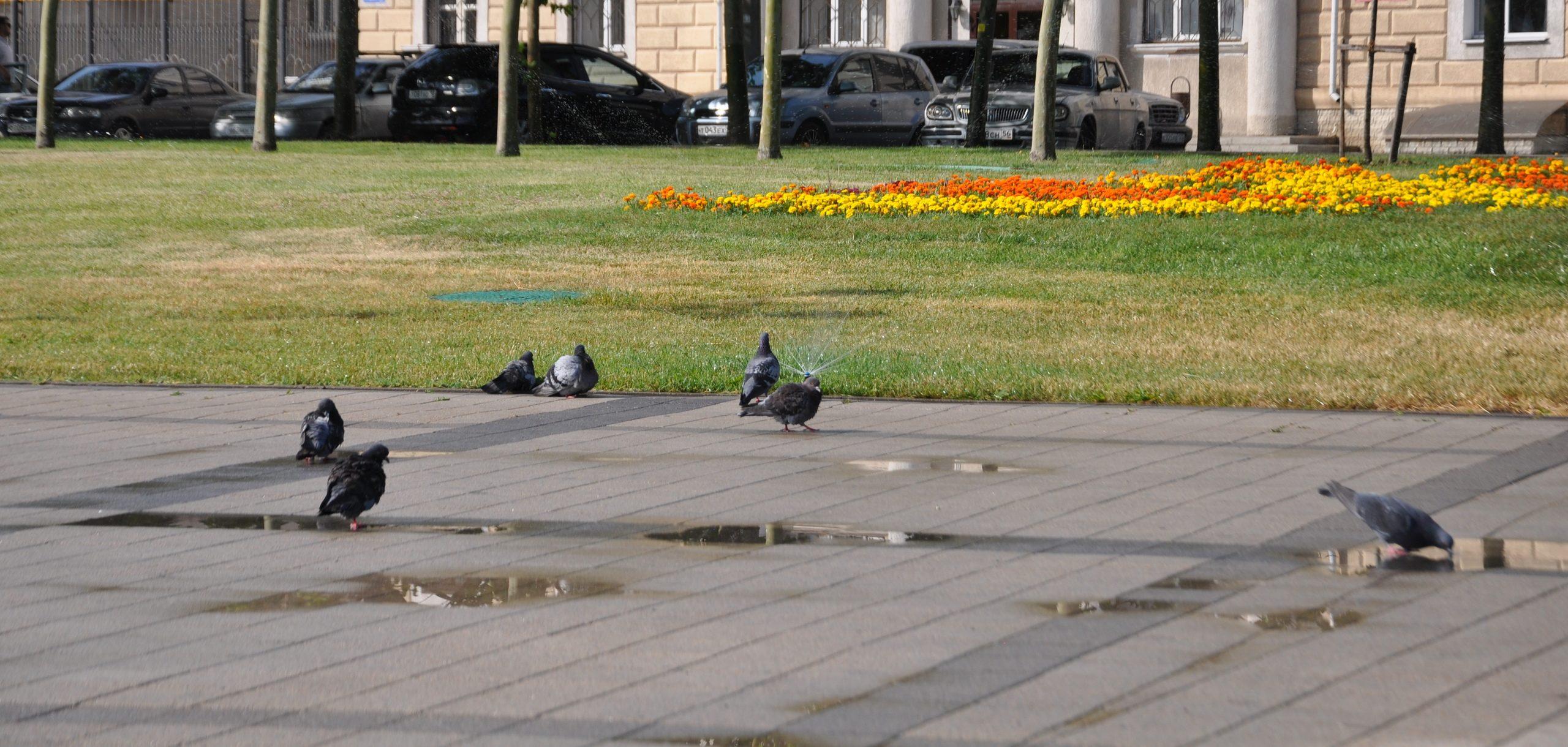 Некоторые новороссийцы считают, что голуби – рассадник инфекции и причина страшного заболевания