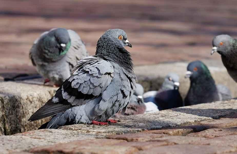 Голубь — опасная птица, стоит ли ее бояться?