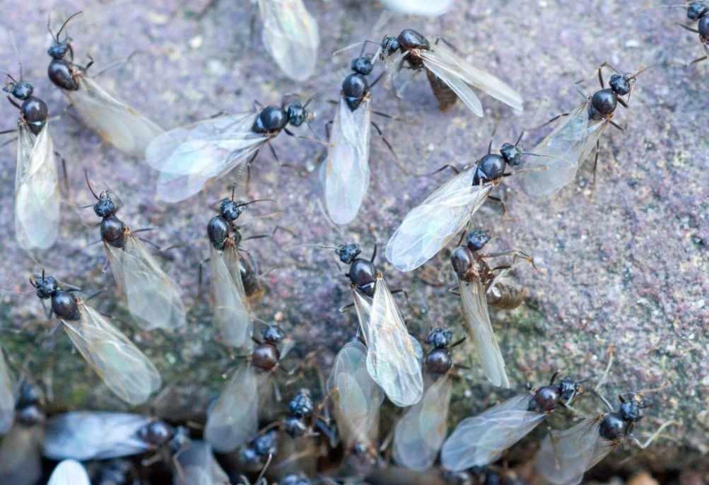 В Новороссийске началось нашествие летающих муравьев