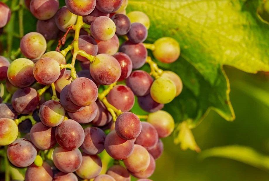 Как вырастить виноград в многоквартирном доме и получать щедрый урожай?