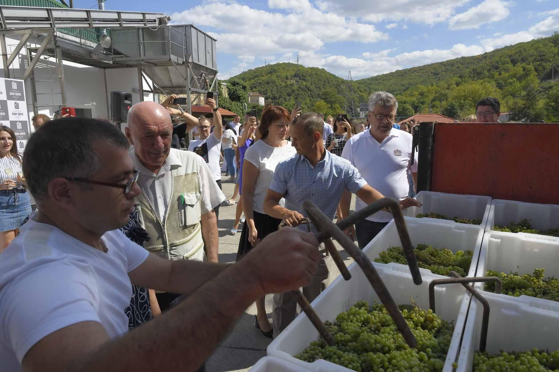 В хозяйствах в окрестностях Новороссийска приступили к уборке технических сортов винограда. Когда пойдет столовый?