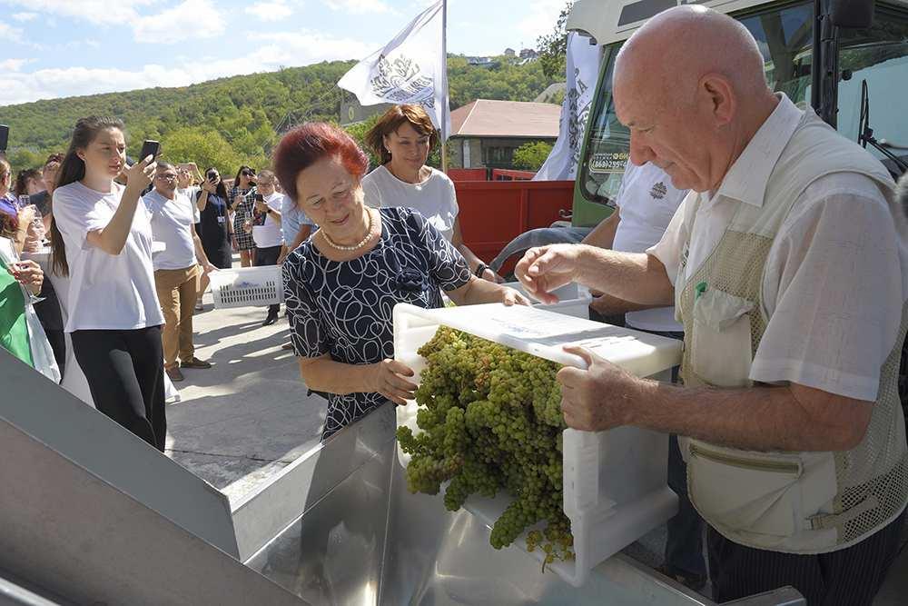Уборка винограда в Абрау-Дюрсо