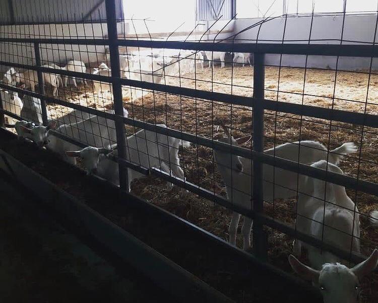 Козье молоко и сыр поступят на прилавки новороссийских магазинов в ближайшее время