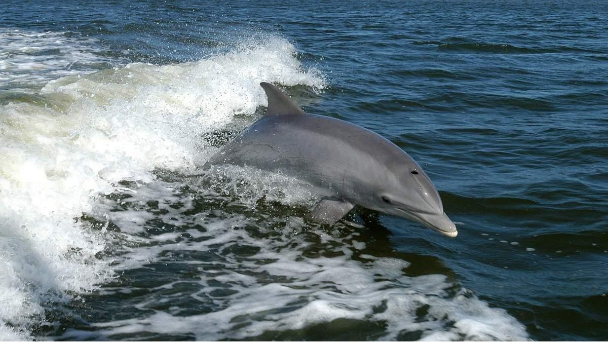 На пляже Алексино нашли ещё одного мёртвого дельфина