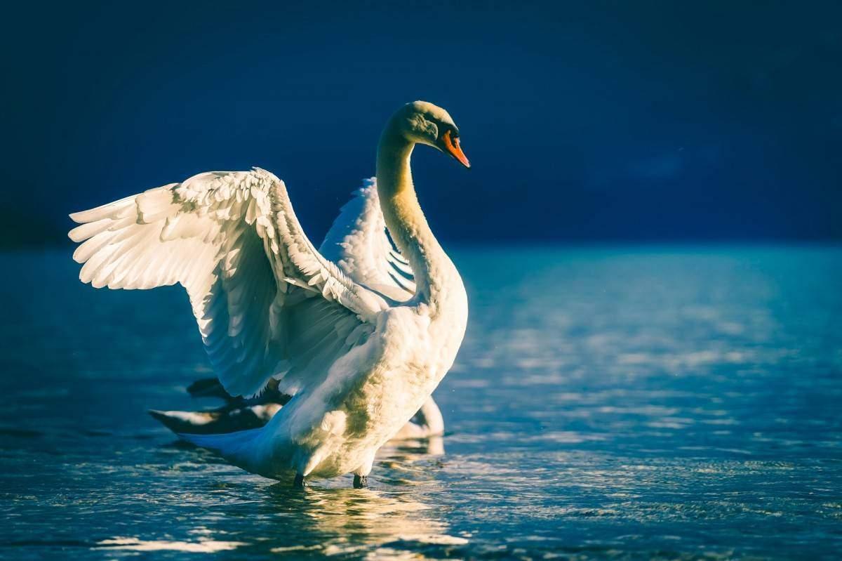 Новороссийцев призывают не кормить лебедей хлебом