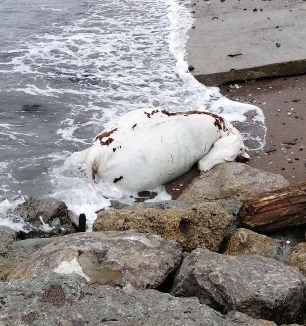 В Мысхако на берегу моря нашли труп коровы