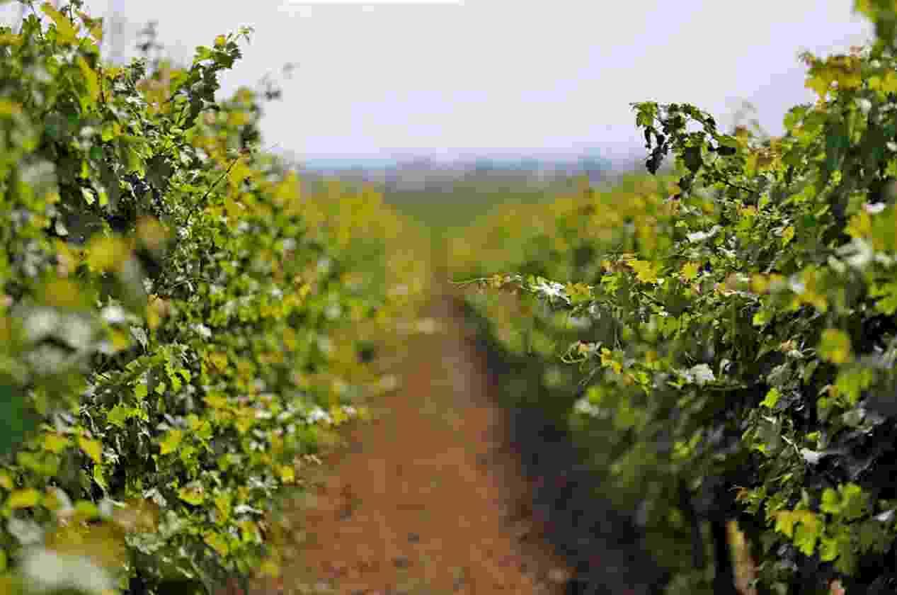 В Новороссийске все виноградники внесут в генплан: больше их не застроят
