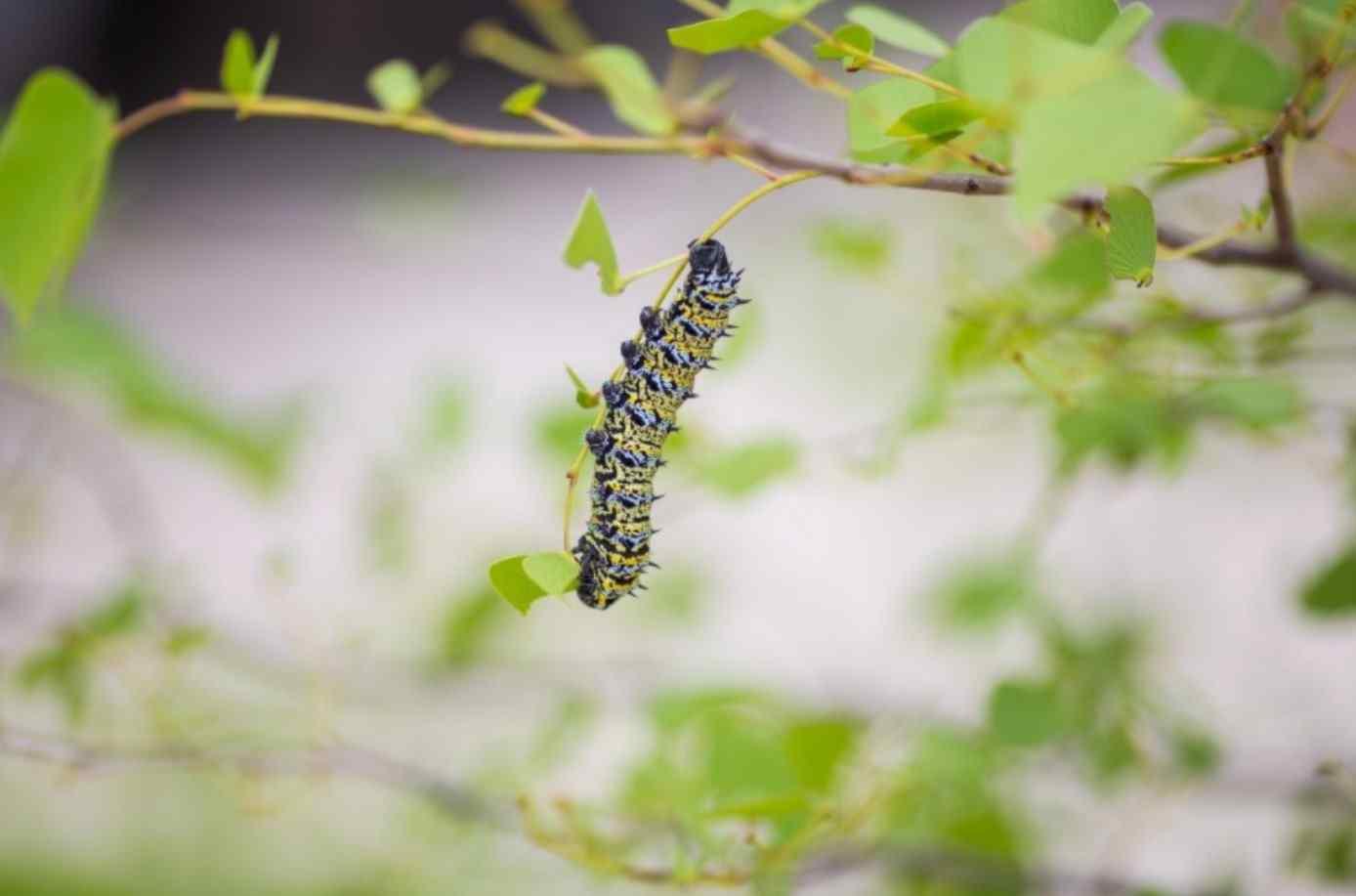 С гусеницами в саду помогут справиться… феромоны!