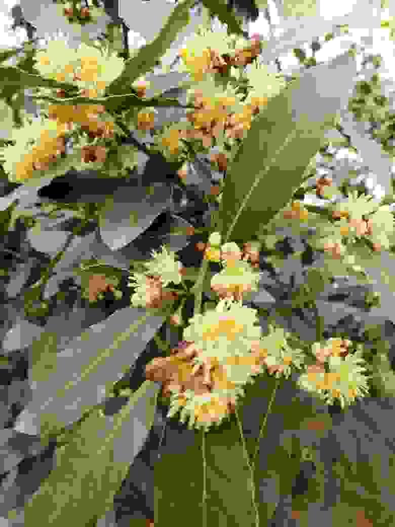 В садах новороссийцев зацвел лавровый лист. Красивое зрелище!