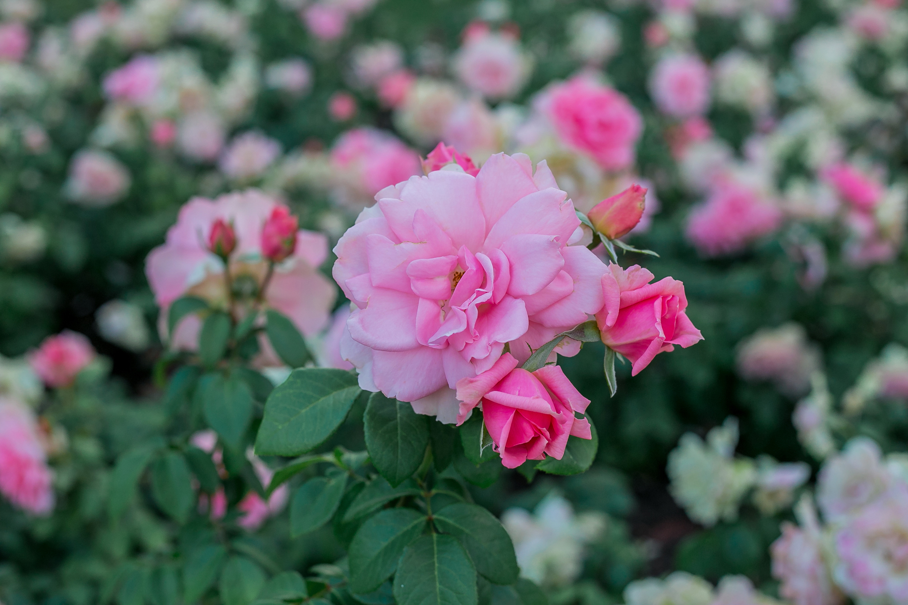 Как ухаживать за розами летом: советы кубанских цветоводов