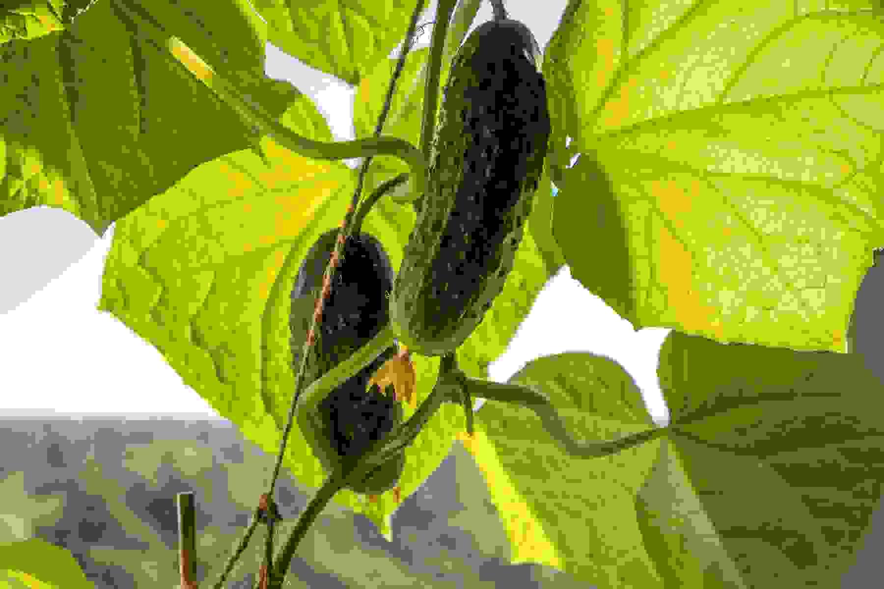 Самосев на грядках: опыт новороссийских садоводов