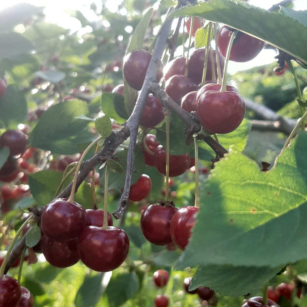 У новороссийцев богатый урожай вишни. Почему повезло не всем?