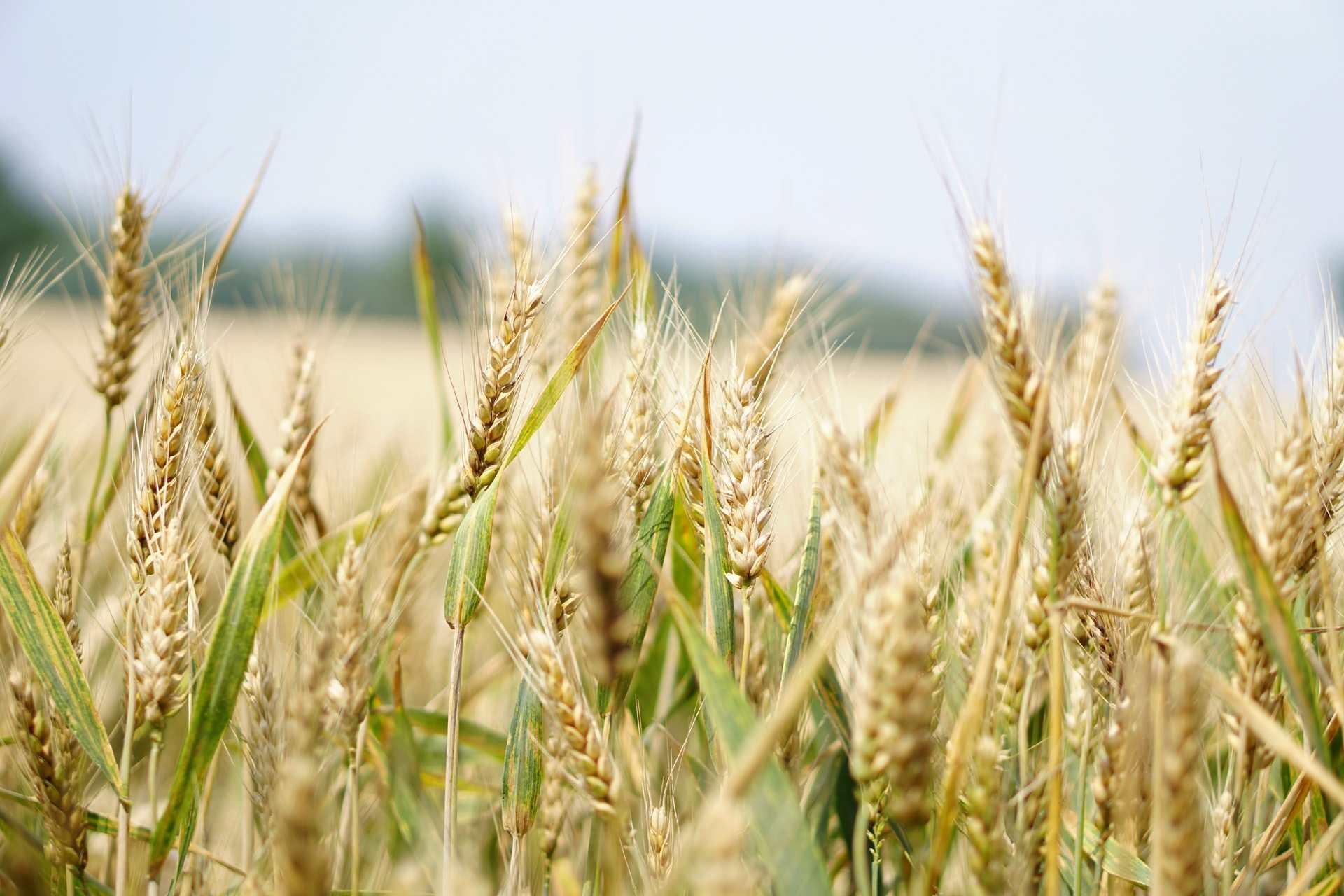 В России ждут рекордный урожай зерна. Снизят ли цену на хлеб?