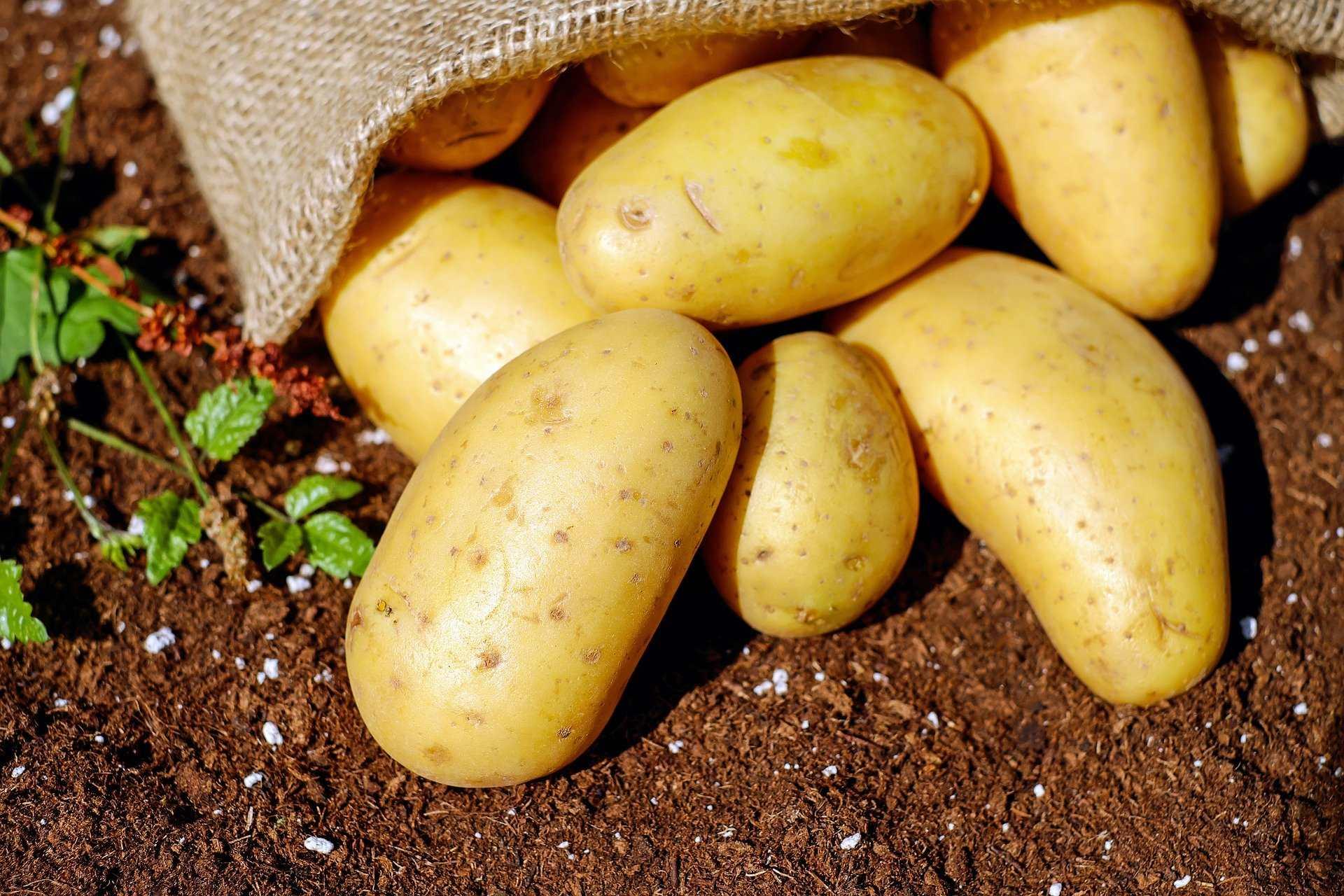 Сажать или не сажать картошку: новороссийские огородники делятся опытом