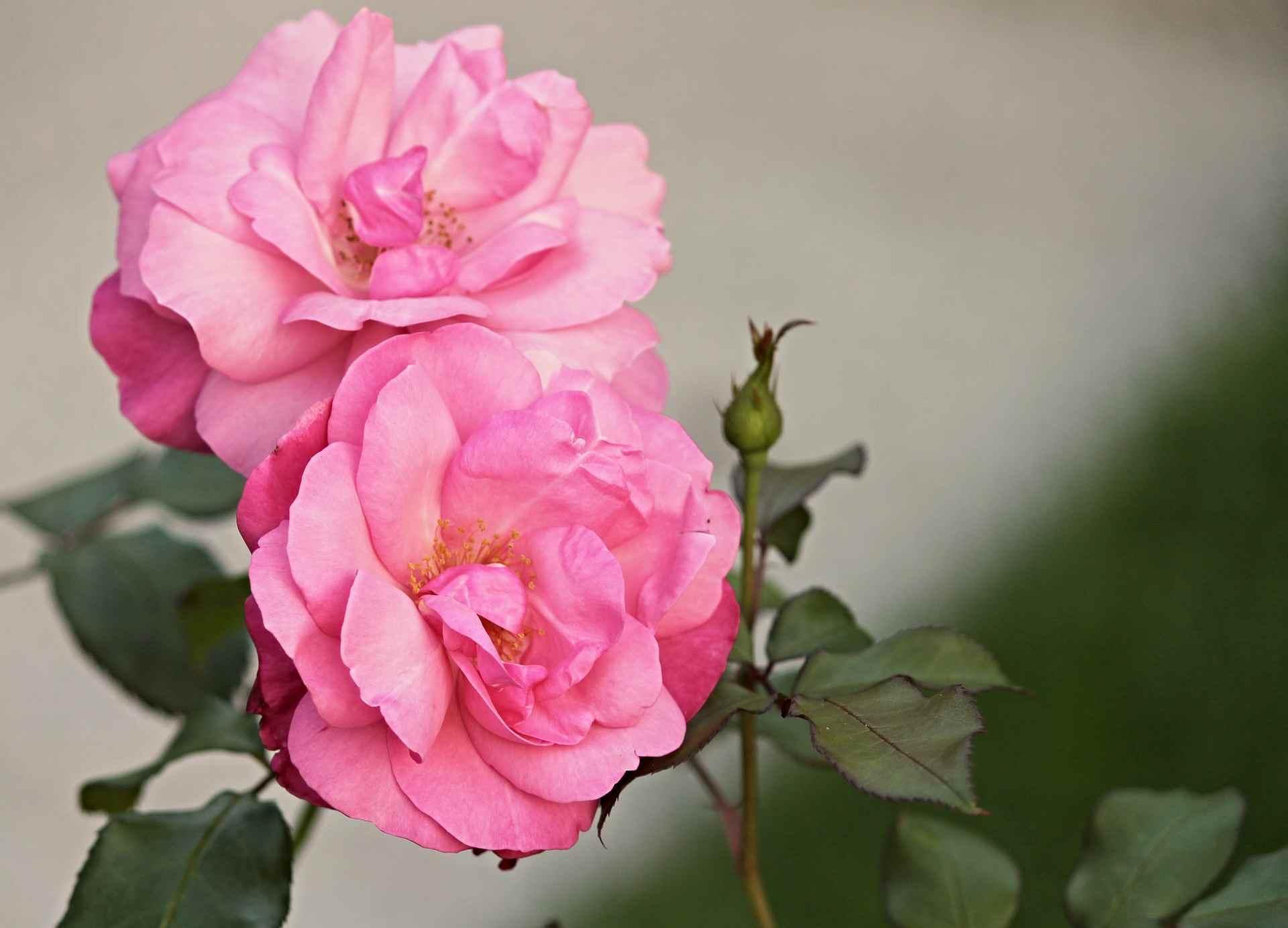 Что делать, чтобы роза не превратилась в шиповник